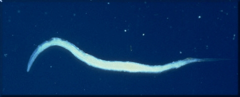 pinworms05